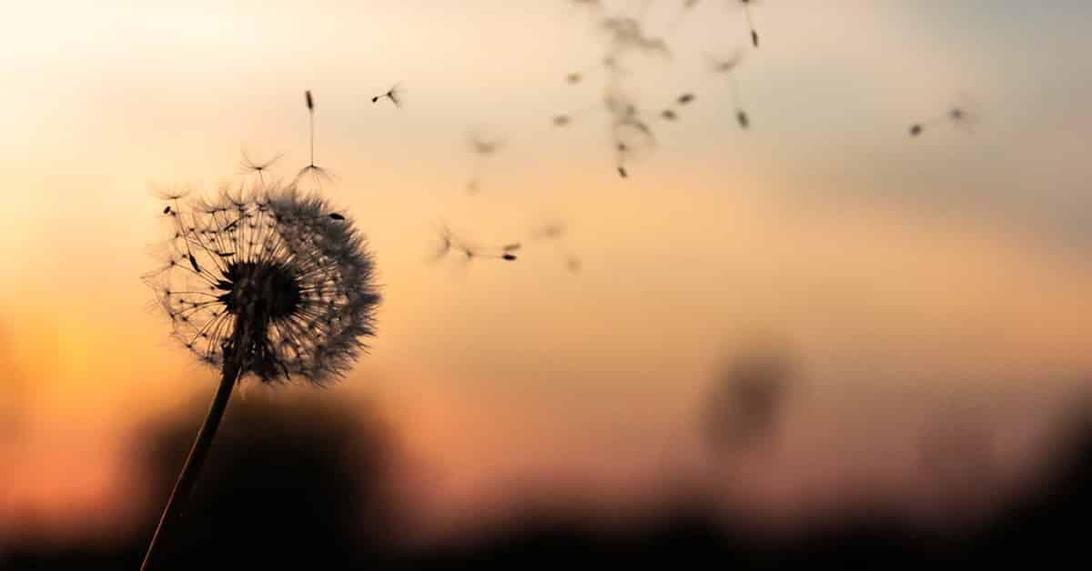 dandelion flowers blowing